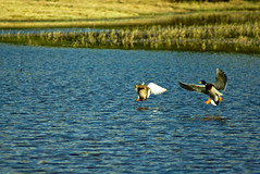 Mallard couple landing (v923z) Tags: lake bird nature mallard drake wildgoose wildmoos