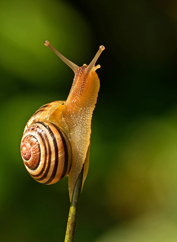White - lipped Snail