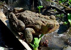 Crapaud d'Amérique  /  Eastern American Toad (anjoudiscus) Tags: nature montréal jean wildlife mai québec toad d800 americantoad crapaud bufonidae 2013 easternamericantoad micronikkor105mmvr crapauddamérique crapaudaméricain