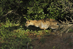 ADS_SriLanka_0000013355 (dickysingh) Tags: travel wild india nature animal forest nationalpark asia action wildlife bigcat jungle panthers srilanka ceylon wilderness leaping charging airborn yala predators charges noman leopards inair ruhunu leaps pantheraparduskotiya