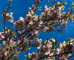 Baumblte 1 - die Magnolie (b.hessmann) Tags: light macro canon eos licht spring weide blossom sommer wiese pollen grn makro wildflower blte garten baum springtime frhling kirschblte frhjahr zweig wildpflanze 60d