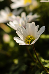 I need some of that Sun! (JonTaylor71) Tags: park wood white green yellow closeup 50mm suffolk nikon bokeh parks anenome ipswich flowercloseup christchurchpark 50mmf18 whitepetals woodanenome greenbokeh yellowstamen d7000 ukpark nikond7000