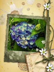 Hydrangea scrapbook (MissyPenny) Tags: blue flower garden hydrangea bristolpennsylvania pdlaich