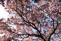 Pink Flowers and Blue Sky: Magnolias (marylea) Tags: pink flowers catholic michigan blossoms may annarbor magnolia catholicchurch blooms 2013 stthomasaa stthomastheapostlecatholicchurch