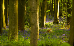 Spring in the Woods (Chris Beard - Images) Tags: uk bluebells spring fox wiltshire