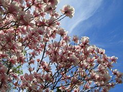 IMG_2116-001 (quirkyjazz) Tags: trees clouds spring lookingup magnolias blueskky
