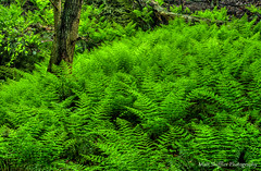 Among the Ferns (Matt Shiffler Photography) Tags: ohio plants green landscape nikon oh ferns hockinghills conkleshollow nikond7000 mattshiffler mattshifflerphotography mattshifflerphotographycom