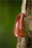 Spirobolidae (Jack O'Donate) Tags: macro proxy myriapoda iule nikond600 spirobolidae sigma150mmf28apomacrodgexoshsm tcsigma2xapoexdghsmnikond