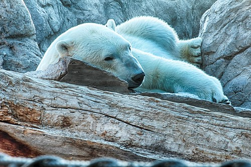 Polar Bear HDR