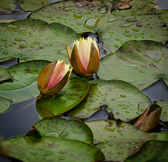 Pond lilly's Blooming soon. (Omygodtom) Tags: street shadow wild green nature rain spring pond lilly tamron90mm d7000