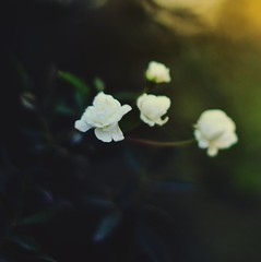 Bloom (JavierAndrs) Tags: light sunset naturaleza white plant flower verde green planta luz nature rose atardecer four cuatro 50mm evening countryside petals nikon soft 14 country flor rosa blanca bloom campo nikkor suave tarde ptalos florecer d3100