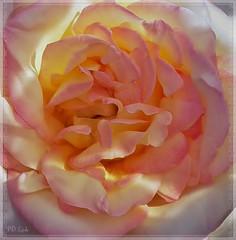 Rose Ruffles (MissyPenny) Tags: pink flower rose garden ruffles petals pennsylvania bristolpennsylvania kodakz990 pdlaich missypenny