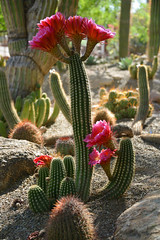 A Household Of Beauties (TQTran) Tags: pink flowers red arizona cactus flower phoenix cacti garden botanical az bloom botanicalgarden pinkish reddish phoenixbotanicalgarden