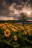 Balsamroot Heaven (Dan Mihai) Tags: morning flowers storm nature beautiful yellow clouds oregon sunrise dark landscape landscapes dramatic stormy columbiariver pacificnorthwest wildflowers drama hoodriver thedalles sunup columbiarivergorge rowena balsamroot mosier rowenacrest tommccallpreserve tommccallnaturepreserve