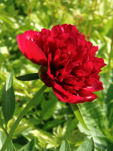 Red Peony for you !  Thank you to all for 215.000 visits