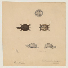 Turtle (six views) and turtle head (Cambridge, Mass., 10 June 1852 and 4 July 1855) (The Ernst Mayr Library) Tags: turtle cambridgemass testudines jacquesburkhardt taxonomy:order=testudines taxonomy:common=turtle scientificdrawings