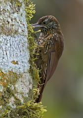 Trepatroncos montaero, Montane Woodcreeper (Lepidocolaptes lacrymiger) 09 (jjarango) Tags: birding aves pajaros birdwatching colibr avesdecolombia birdingcolombia avesdecolombiaavescolombiabirdingbirdwatchingpjaros