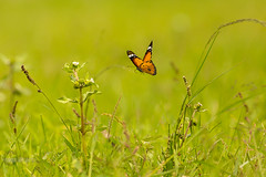 Flight of the Tiger!! (Ismail Shariff) Tags: nature grass canon butterfly photography bokeh wildlife tiger canon5d hyderabad common ismail telephotolens naturephotography wildlifephotography smoothbokeh canonef400mmf56 canonef400mmf56lusm groundshots ismailshariff commontigerbutterfly canoneos5dmarkiii canon5dmarkiii wwwismailshariffcom httpwwwfacebookcomismailsphotography ameenpur
