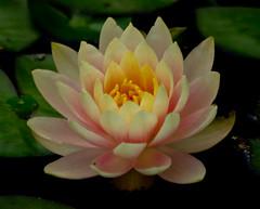 Water Lily       (70 of 72) (will Joudrey) Tags: waterlily manitoba leomolgardenswinnipeg