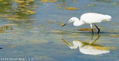 GARZETTA CON PESCE 1 ( Egret with fish 1 ) Oasi di Cronovilla Vignale Parma ( Oasis di Cronovilla Vignale Parma ) http://cronovilla.weebly.com/ (DIOGENE12) Tags: park parco nature birds animals natura uccelli oasis animali oasi garzetta