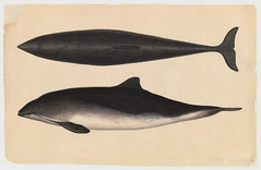 Dolphin? (bottom and side views) (Cambridge, Mass., 31 December 1849) (The Ernst Mayr Library) Tags: dolphin cambridgemass jacquesburkhardt taxonomy:common=dolphin scientificdrawings
