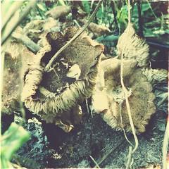 Sunflower fungi (Miss Stella) Tags: autumn summer mushroom garden harvest fungi soil sunflower desaturated frill fecund hipstagram uploaded:by=flickrmobile flickriosapp:filter=nofilter