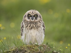 Short-eared Owl 31 (brandugla) (Svenni and his Icelandic birds.) Tags: shortearedowl asioflammeus brandugla
