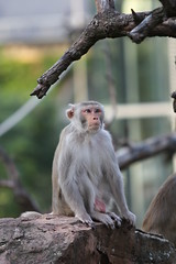 Ape (michael_andreas_k) Tags: germany zoo ape heidelberg badenwrttemberg