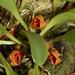 Pleurothallis tribuloides – Nico Goosens