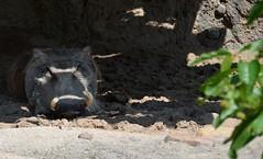 Warthog (Phacochoerus Africanus) (Adventurer Dustin Holmes) Tags: animal animals mammal mammals animalia mammalia warthog warthogs kansascityzoo africananimals chordata artiodactyla africananimal 2013 phacochoerus suidae phacochoerusafricanus kczoo pafricanus
