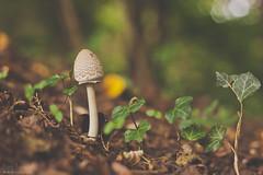 The parasol mushroom (Macrolepiota procera) (daniturnek) Tags: nature mushroom canon eos slovenia slovenija 500d