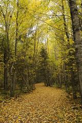 Walk in the park (`·.¸ Susan .•*´)¸.•*´) Tags: autumn canada fall leaves nikon seasons path manitoba walkway scavengerhunt d300 heclaisland