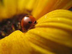"Wanderer ... (mo_meede) Tags: old oktober flower macro back flickr hamburg herbst blumen powershot makro sonnenblume blüten marienkäfer 2013 curslack ""bring ""mo blinkagain ""mos bestofblinkwinners blinksuperstars a640"" meede"" fickr"" fotogarten""""canon"