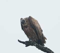 DSC_6539-1 (John.Walton) Tags: africa bird southafrica nikon wildlife raptor sa vulture d3 birdofprey kruger sanparks whitebackedvulture southafricanationalparks