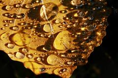 Feuille de lumiere,  gouttes d'Esperance (luka116) Tags: nature automne schweiz switzerland suisse swiss lumiere svizzera wallis octobre valais feuille 2013 vernamiege