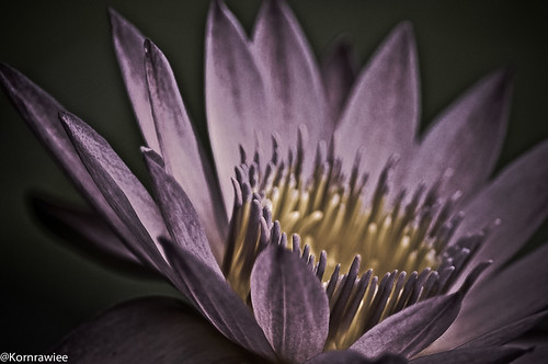 Purple water lily...mystery beauty.