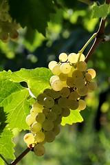 Uva bianca (luporosso) Tags: naturaleza nature nikon italia vine natura uva grape raisin italianfood vino naturalmente whitegrape uvabianca raisinblanc uvablanca nikond300s  weisetraube