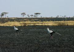 Secretarybirds (It's Stefan) Tags: africa tanzania serengeti grassland secretarybird sekretr eastafrica sagittariusserpentarius