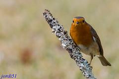 Petirrojo; Pit-roig; Robin. (jordi51) Tags: naturaleza nature robin birds nikon erithacusrubecula