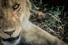 Hay miradas que matan (PloPh) Tags: africa wild naturaleza eye animal fauna tanzania lion natura safari leon terror serengeti mirada miedo salvaje flickrbigcats mygearandme