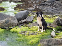 A working collie's day off, Galson - Larah Macleod