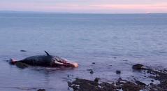 SW 2 (NikWatt) Tags: loss sunrise death scotland edinburgh sigma handheld mammals whalers spermwhale greatcolors christiansalvesen greatscots edinburghphotographers nikwatt windowsphotogallerylive losttheirway sonya580