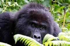 Gorilla di Montagna, Bwindi Impenetrable Forest, Uganda (Pianeta Gaia Viaggi) Tags: uganda