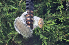 It's all about the nuts..... (littlestschnauzer) Tags: uk morning winter tree cute bird nature breakfast garden grey nikon squirrel branch wildlife yorkshire tail nuts feeder elements peanut brave local hungry amusing challenge on 2014 emley agile bushy my d5000 anhing