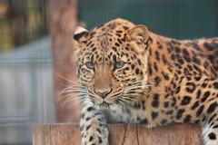 Amur Leopard (Chicago John) Tags: world park cats oregon great junction leopard cave amur amurleopard cavejunction greatcatsworldpark {vision}:{mountain}=0543 {vision}:{outdoor}=0758