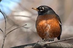 Robin (johnmcochran2012) Tags: bird robin birds washingtondc dc washington nikon nikkor americanrobin 70300 d90 backyardbirds nikond90 hilleast