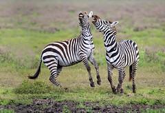 Fighting Zebra (MyKeyC) Tags: africa tanzania fight zebra todd fighting aaacolevanscd