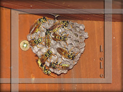 wasps on nest (Koko Nut, it's all about the frame) Tags: bug garden wonder wasp nest box frame eggs koko larvae waspnest colony kokonut