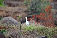 Egret (radhical) Tags: ratangad harishchandragad bhandardara kalsubai kokankada flickrandroidapp:filter=none