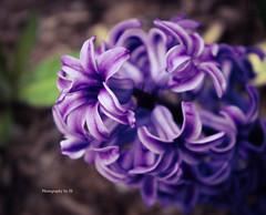 hyacinth (Photography by JS) Tags: hyacinth